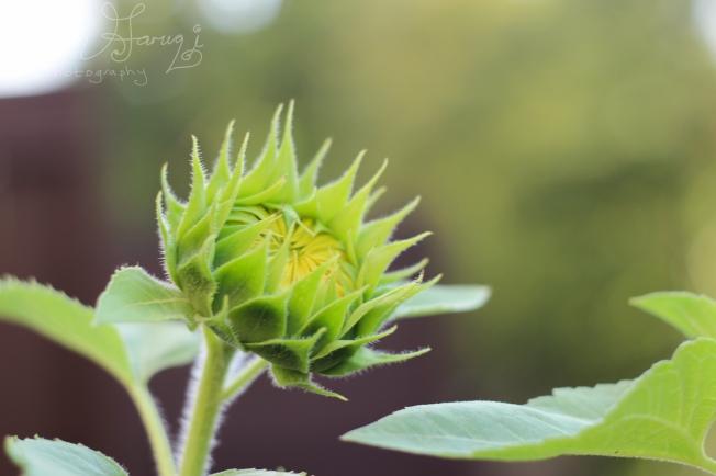 sunflower bud